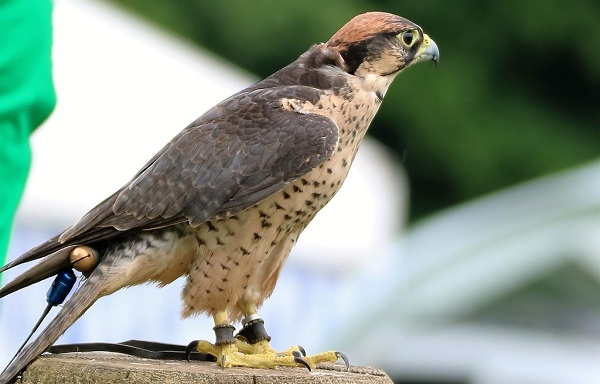 Хищные-птицы-Описание-названия-виды-и-фото-хищных-птиц-45