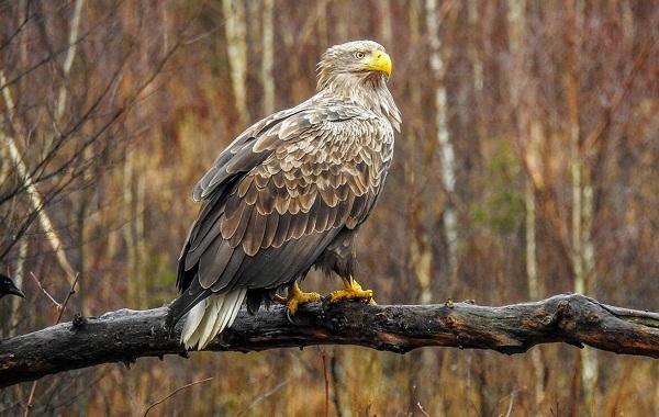 Хищные-птицы-Описание-названия-виды-и-фото-хищных-птиц-46