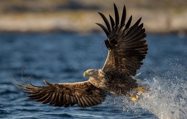 Хищные-птицы-Описание-названия-виды-и-фото-хищных-птиц-47