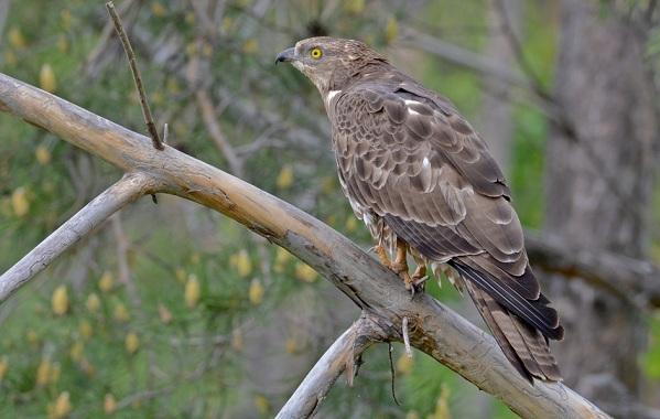 Хищные-птицы-Описание-названия-виды-и-фото-хищных-птиц-48