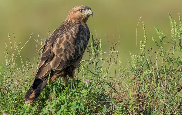 Хищные-птицы-Описание-названия-виды-и-фото-хищных-птиц-49