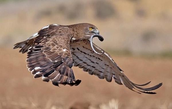 Хищные-птицы-Описание-названия-виды-и-фото-хищных-птиц-51