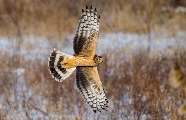 Хищные-птицы-Описание-названия-виды-и-фото-хищных-птиц-52