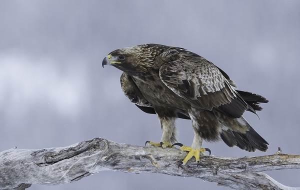 Хищные-птицы-Описание-названия-виды-и-фото-хищных-птиц-6