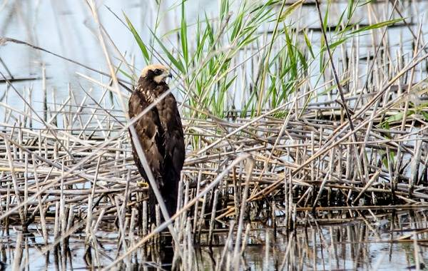 Хищные-птицы-Описание-названия-виды-и-фото-хищных-птиц-7