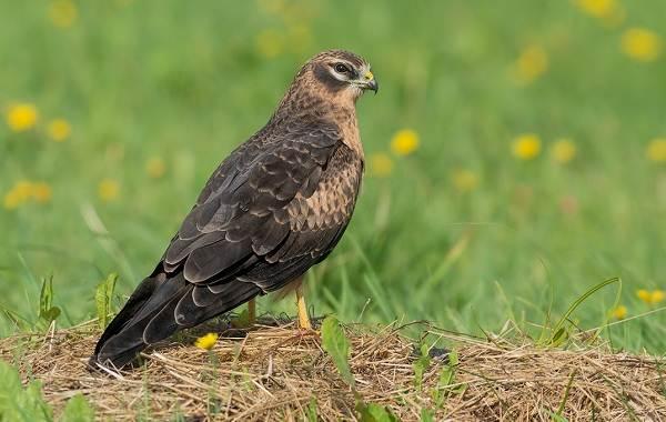 Хищные-птицы-Описание-названия-виды-и-фото-хищных-птиц-8