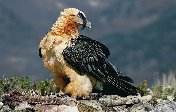 Хищные-птицы-Описание-названия-виды-и-фото-хищных-птиц-9