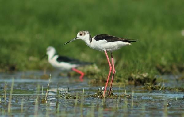 Ходулочник-птица-Описание-особенности-виды-образ-жизни-и-среда-обитания-ходулочника-10