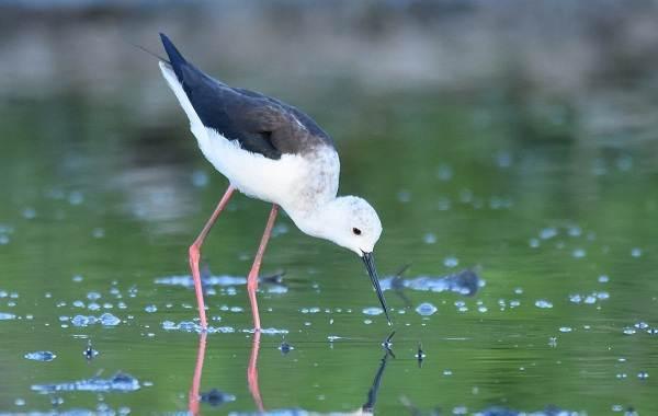 Ходулочник-птица-Описание-особенности-виды-образ-жизни-и-среда-обитания-ходулочника-11