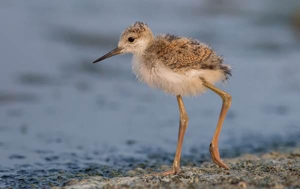 Ходулочник-птица-Описание-особенности-виды-образ-жизни-и-среда-обитания-ходулочника-13