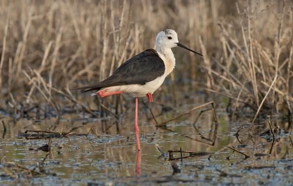 Ходулочник-птица-Описание-особенности-виды-образ-жизни-и-среда-обитания-ходулочника-14