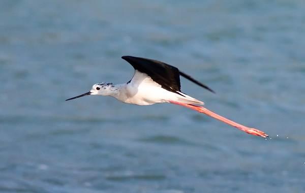 Ходулочник-птица-Описание-особенности-виды-образ-жизни-и-среда-обитания-ходулочника-3