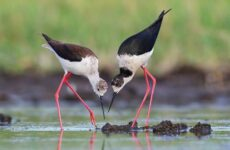 Ходулочник птица. Описание, особенности, виды, образ жизни и среда обитания ходулочника