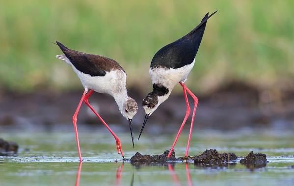 Ходулочник-птица-Описание-особенности-виды-образ-жизни-и-среда-обитания-ходулочника-7