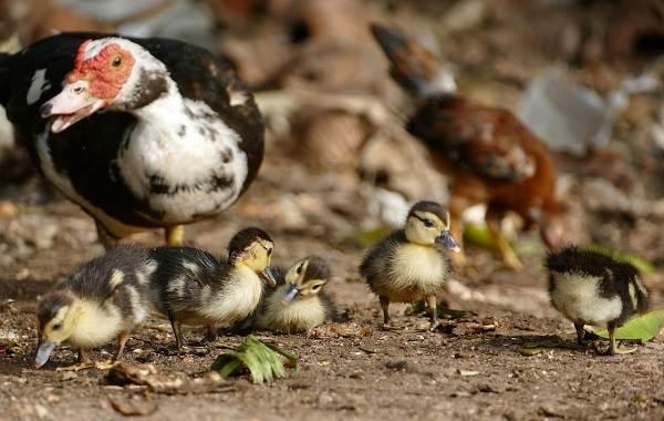 Индоутка-птица-Описание-особенности-виды-уход-и-содержание-индоуток-13