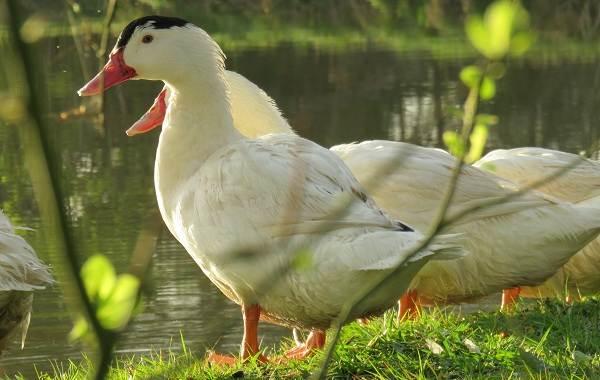Индоутка-птица-Описание-особенности-виды-уход-и-содержание-индоуток-6