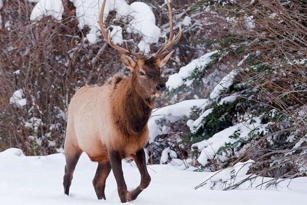 Изюбрь-животное-Описание-особенности-виды-образ-жизни-и-среда-обитания-изюбря-12