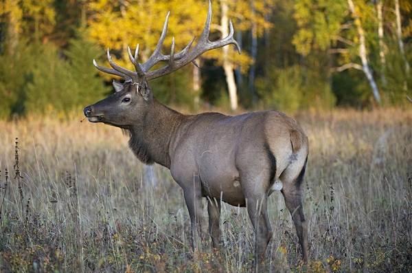Изюбрь-животное-Описание-особенности-виды-образ-жизни-и-среда-обитания-изюбря-7