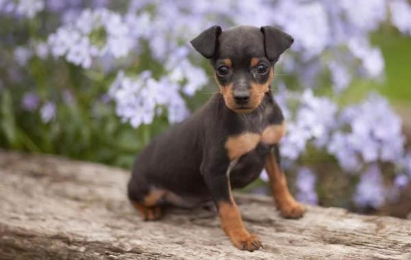 Карликовый-пинчер-собака-Описание-особенности-виды-уход-и-цена-породы-11