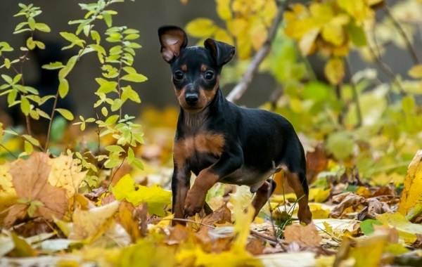 Карликовый-пинчер-собака-Описание-особенности-виды-уход-и-цена-породы-12