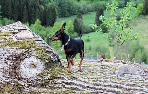 Карликовый-пинчер-собака-Описание-особенности-виды-уход-и-цена-породы-3