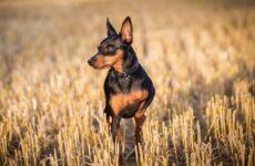 Карликовый пинчер собака. Описание, особенности, виды, уход и цена породы