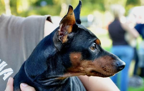 Карликовый-пинчер-собака-Описание-особенности-виды-уход-и-цена-породы-5