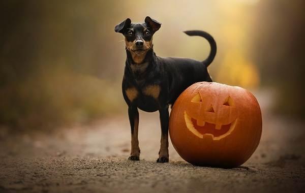 Карликовый-пинчер-собака-Описание-особенности-виды-уход-и-цена-породы-6