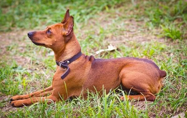 Карликовый-пинчер-собака-Описание-особенности-виды-уход-и-цена-породы-7