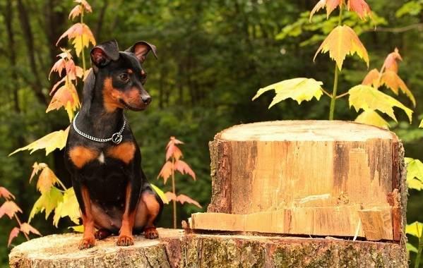 Карликовый-пинчер-собака-Описание-особенности-виды-уход-и-цена-породы-8