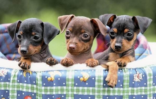 Карликовый-пинчер-собака-Описание-особенности-виды-уход-и-цена-породы-9