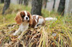 Кавалер-кинг-чарльз-спаниель собака. Описание, особенности, уход и цена породы