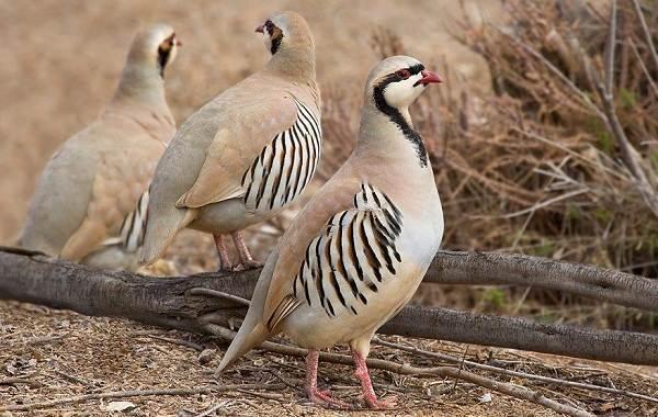 Кеклик-птица-Описание-особенности-виды-образ-жизни-и-среда-обитания-кеклика-1