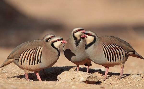 Кеклик-птица-Описание-особенности-виды-образ-жизни-и-среда-обитания-кеклика-2