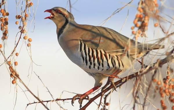 Кеклик-птица-Описание-особенности-виды-образ-жизни-и-среда-обитания-кеклика-4