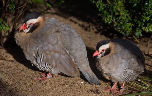 Кеклик-птица-Описание-особенности-виды-образ-жизни-и-среда-обитания-кеклика-7