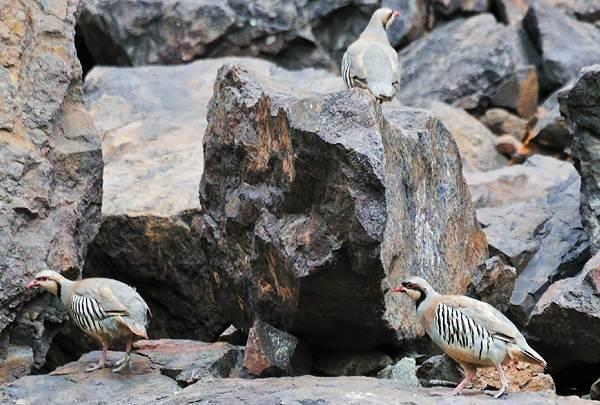 Кеклик-птица-Описание-особенности-виды-образ-жизни-и-среда-обитания-кеклика-8