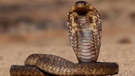 Кобра змея. Описание, особенности, виды, образ жизни и среда обитания кобры