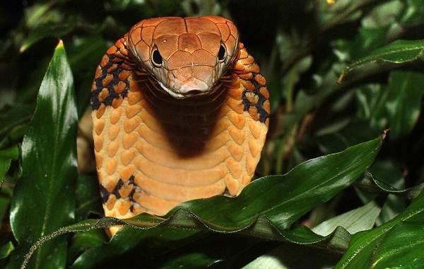 Кобра-змея-Описание-особенности-виды-образ-жизни-и-среда-обитания-кобры-10