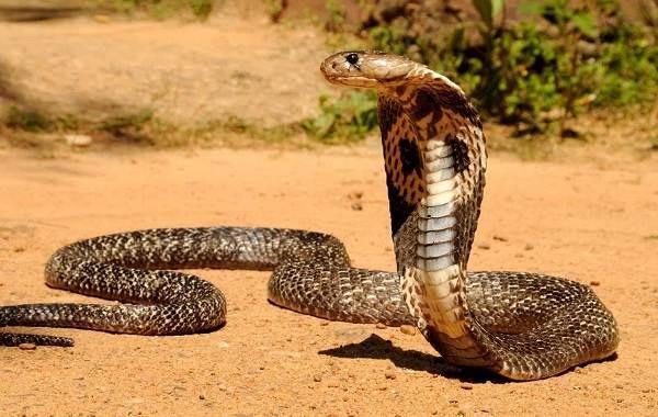 Кобра-змея-Описание-особенности-виды-образ-жизни-и-среда-обитания-кобры-11
