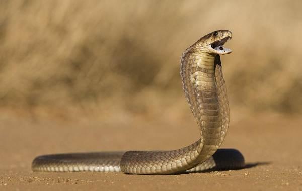 Кобра-змея-Описание-особенности-виды-образ-жизни-и-среда-обитания-кобры-13