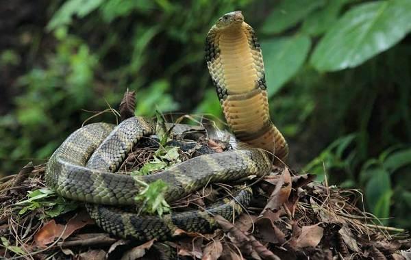 Кобра-змея-Описание-особенности-виды-образ-жизни-и-среда-обитания-кобры-16