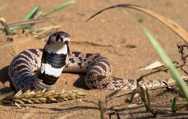 Кобра-змея-Описание-особенности-виды-образ-жизни-и-среда-обитания-кобры-19