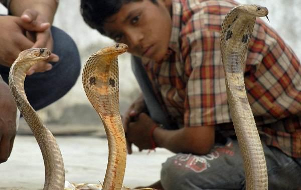 Кобра-змея-Описание-особенности-виды-образ-жизни-и-среда-обитания-кобры-20