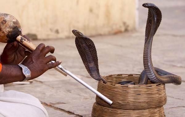 Кобра-змея-Описание-особенности-виды-образ-жизни-и-среда-обитания-кобры-21
