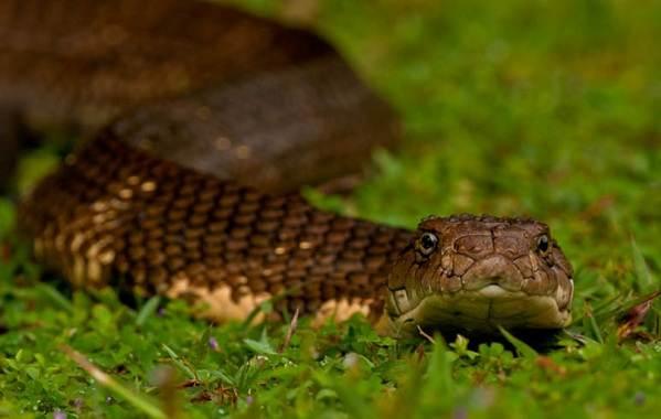Кобра-змея-Описание-особенности-виды-образ-жизни-и-среда-обитания-кобры-3