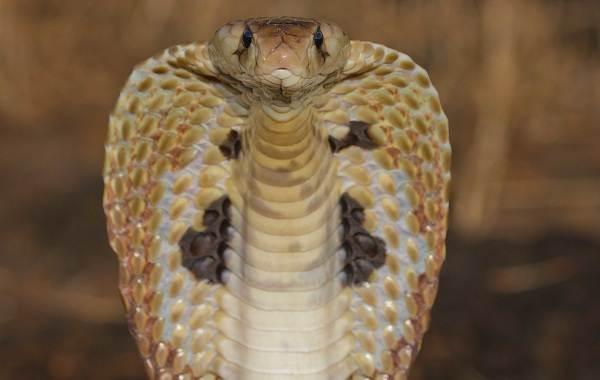 Кобра-змея-Описание-особенности-виды-образ-жизни-и-среда-обитания-кобры-5