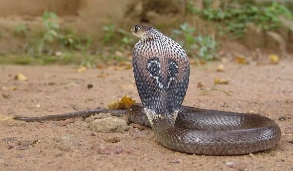 Кобра-змея-Описание-особенности-виды-образ-жизни-и-среда-обитания-кобры-6
