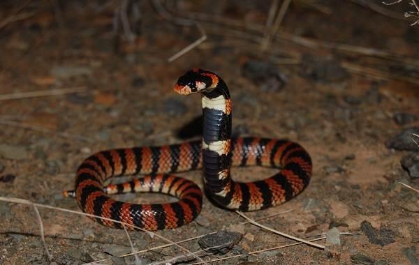 Кобра-змея-Описание-особенности-виды-образ-жизни-и-среда-обитания-кобры-7