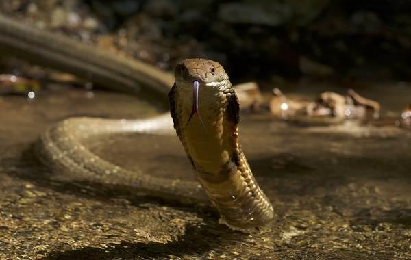 Кобра-змея-Описание-особенности-виды-образ-жизни-и-среда-обитания-кобры-8